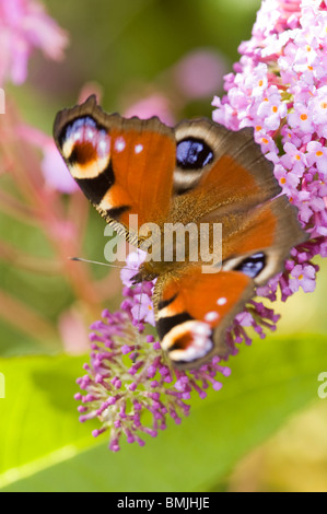 European Peacock Butterfly Inachis io UK - Stock Photo