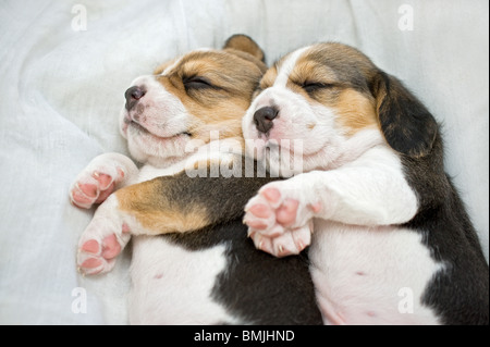 Beagle dog. Two puppies sleeping on a blanket - Stock Photo