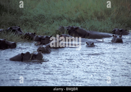 Hippopotamuses (Hippopotamus amphibius), Chobe National Park, North-West District, Botswana - Stock Photo
