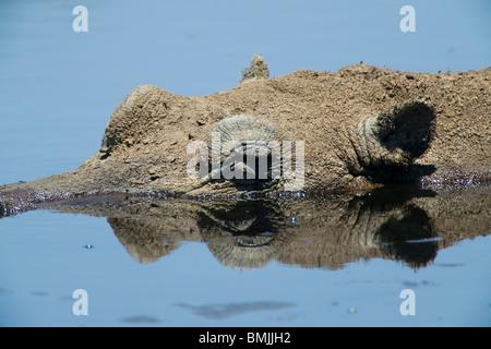 Africa, Botswana, Makgadikgadi Pans National Park, Hippopotamus  resting in shallow pool along Botete River during - Stock Photo