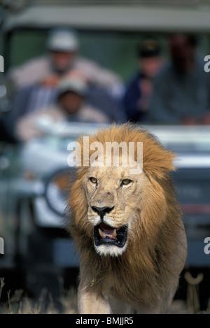 Botswana, Chobe National Park, Safari truck follows male Lion (Panthera leo) in Savuti Marsh