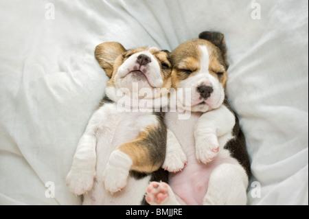 Beagle dog - two puppies - sleeping - Stock Photo