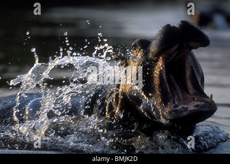 Botswana, Moremi Game Reserve, Hippopotamus (Hippopotamus amphibius) yawning in pool along Khwai River at dusk - Stock Photo