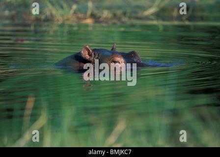 Africa, Botswana, Moremi Game Reserve, Hippopotamus (Hippopotamus amphibius) swims in Khwai River at dawn - Stock Photo