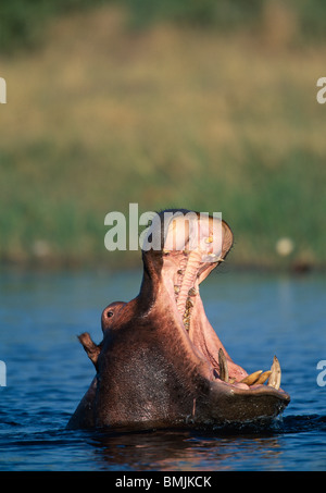 Botswana, Moremi Game Reserve, Hippopotamus (Hippopotamus amphibius) yawning threat display in Khwai River - Stock Photo