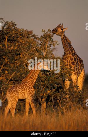 Africa, Botswana, Chobe National Park, Adult and infant Giraffe (Giraffa camelopardalis) in Savuti Marsh at sunset - Stock Photo