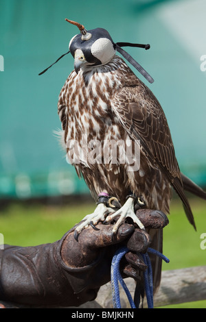 A Gyrfalcon - Saker hybrid falcon in captivity in Lincolnshire, England - Stock Photo