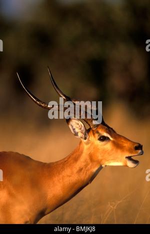 Africa, Botswana, Chobe National Park, Impala (Aepyceros melampus) in tall grass at sunset in Savuti Marsh - Stock Photo