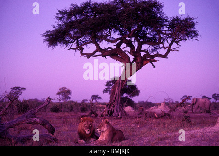 Africa, Botswana, Chobe National Park, Mating pair of Lion and Lioness (Panthera leo) rest under tree in Savuti - Stock Photo