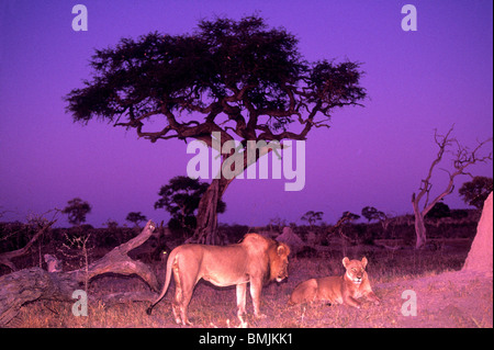 Africa, Botswana, Chobe National Park, Mating pair of Lion and Lioness (Panthera leo) resting by termite mound at - Stock Photo