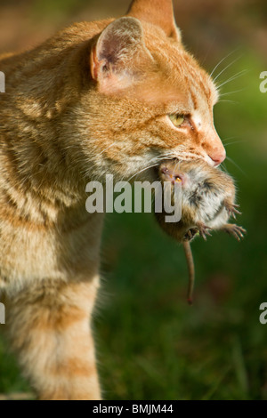 A cat with a mouse in the mouth - Stock Photo