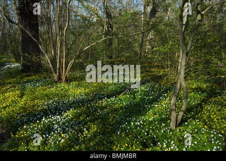 Scandinavia, Sweden, Skane, Oland, View of anemone flower - Stock Photo
