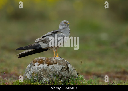 Scandinavia, Sweden, Oland, Montagus harrier standing on stone, close-up - Stock Photo