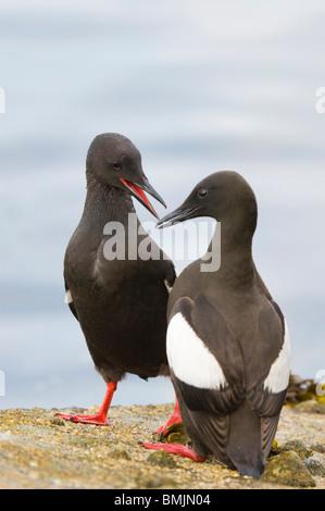 Adult Black Guillemots Cepphus grylle on harbour wall Oban Scotland. - Stock Photo
