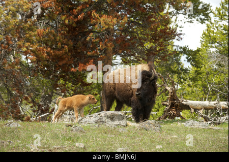 A Bison, or American Buffalo, with a calf walks near tourists in Yellowstone National Park. Wyoming, USA - Stock Photo