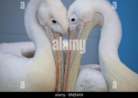 Scandinavian Peninsula, Sweden, Gothenburg, Slottsskoge, View of two pelican, close-up - Stock Photo