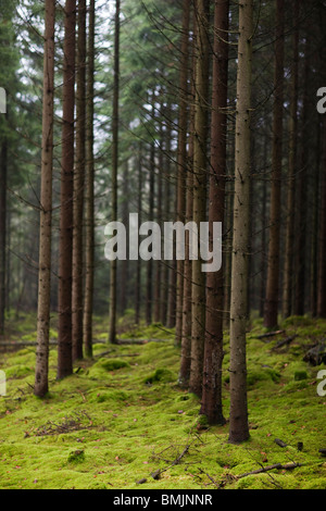 Scandinavian Peninsula, Sweden, Skane, View coniferous trees in forest - Stock Photo