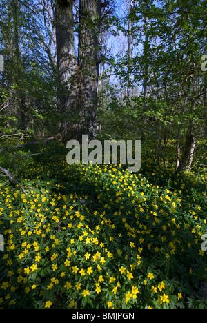 Scandinavia, Sweden, Skane, Oland, View of buttercup flower - Stock Photo