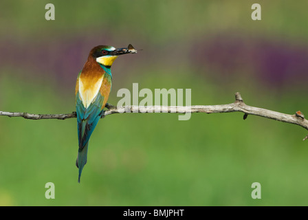 Europe, Hungary, F?geludden, View of European bee eater holding insect in mouth - Stock Photo