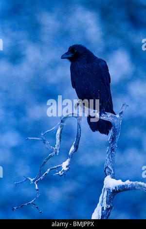 Scandinavia, Sweden, Vasterbotten, Raven crow perching on tree, close-up - Stock Photo