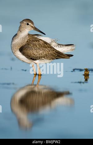 Scandinavia, Sweden, Oland, Common redshank bird standing in water, close-up - Stock Photo