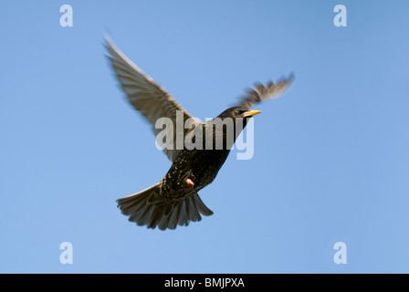 Scandinavia, Sweden, Oland, Starling bird flying in sky - Stock Photo