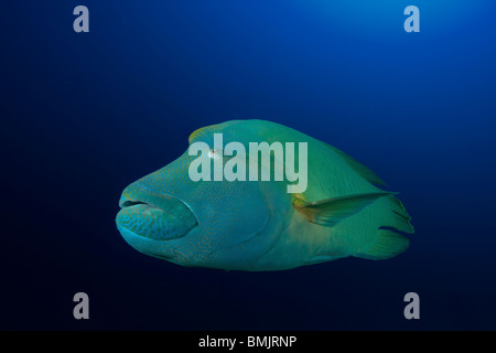 Napoleon or Humphead Wrasse (Cheilinus undulatus) swimming in a clear blue background - Stock Photo