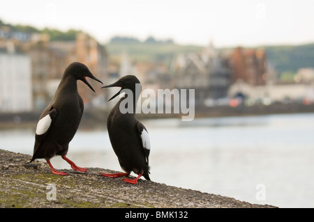 Adult Black Guillemots Cepphus grylle on harbour wall Oban Scotland. - Stock Photo