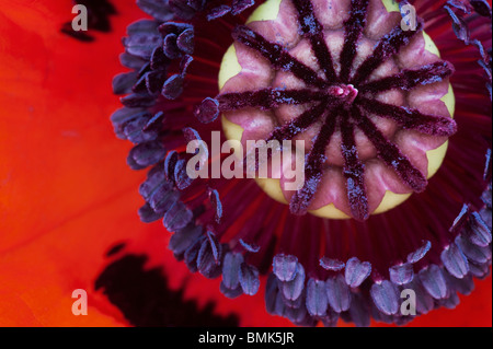 Papaver Orientale. Oriental Poppy flower middle stamen close up - Stock Photo