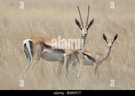 Ethiopia: Arba Minch, Nech Sar National Park at the end of dry season, pair of Grants gazelle - Stock Photo