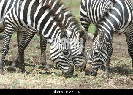 Ethiopia: Arba Minch, Nech Sar National Park at the end of the dry season, Burchell's zebra (Equus burchelli) - Stock Photo