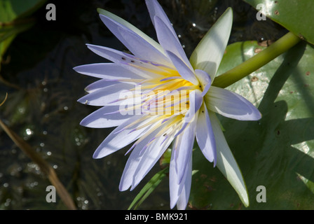 Ethiopia: Arba Minch, Nech Sar National Park at the end of dry season, Lake Abaya's wetlands, water lily (Nymphaea... - Stock Photo