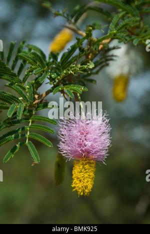 Ethiopia: Arba Minch, Nech Sar National Park at the end of dry season, Lake Abaya's wetlands, flower of Dichrostachys - Stock Photo