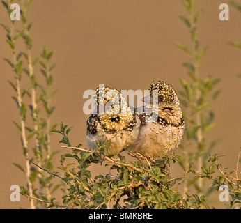 Africa, Kenya. Pair of red-yellow barbets perched on tree limb. - Stock Photo