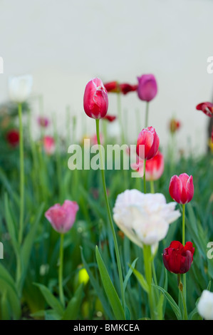 Flowering tulips in a variety of colors in a summery garden - Stock Photo