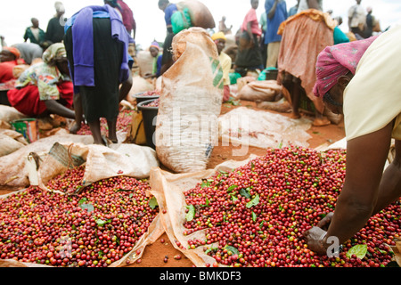Africa, Kenya, Ruira, Pickers sort through piles of red, - Stock Photo