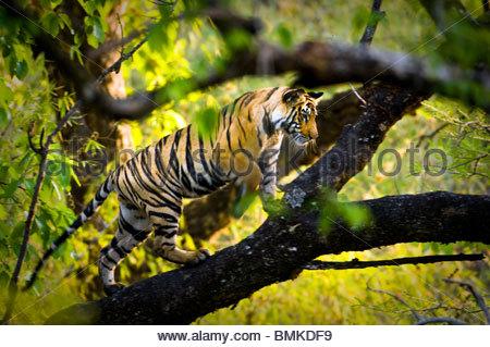 Adolescent male Bengal Tiger (around 15 months) climbing a tree. Bandhavgarh NP, Madhya Pradesh, India. - Stock Photo