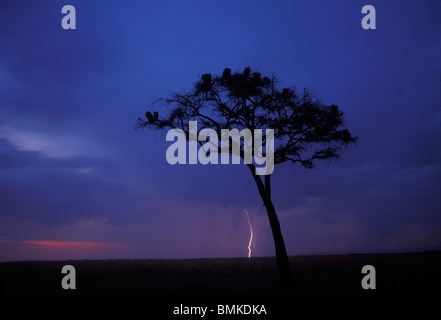 Africa, Kenya, Masai Mara Game Reserve, Lightning flashes from storm clouds behind lone acacia tree at dusk on savanna - Stock Photo