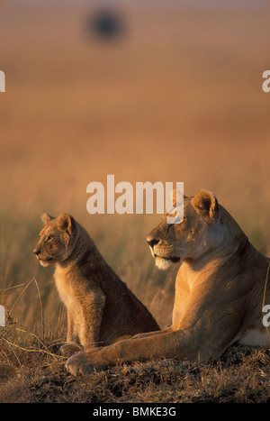 Africa, Kenya, Masai Mara Game Reserve, Lioness and Lion cub (Panthera leo) resting on savanna at dawn - Stock Photo