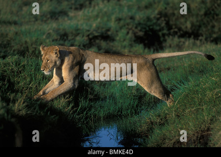 Kenya, Masai Mara Game Reserve, Lioness (Panthera leo) leaps across small stream in early morning - Stock Photo