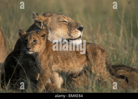 Kenya, Masai Mara Game Reserve, Lioness (Panthera leo) rests with cubs in early morning sun on savanna - Stock Photo