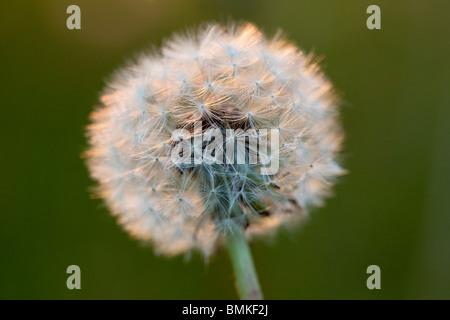 Close up of a dandelion seedhead - Stock Photo