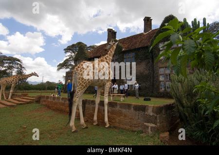 Rothschild Giraffe, Giraffe Manor, Nairobi, Kenya. Giraffes walking up to the manor. - Stock Photo