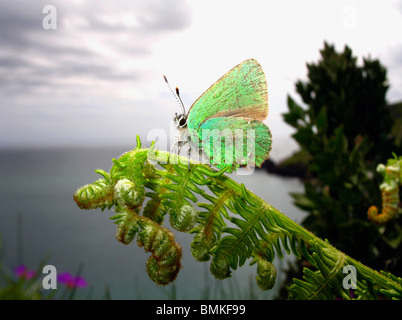 Green Hairstreak Butterfly perched on a fern, Devon Coast, UK. - Stock Photo