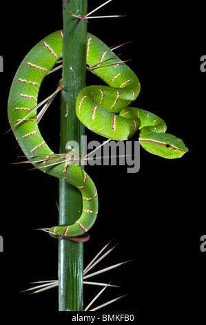 Adult Wagler's Pit Viper in thorns on the stemless Asam Paya Palm. Bako NP, Sarawak, Borneo. - Stock Photo