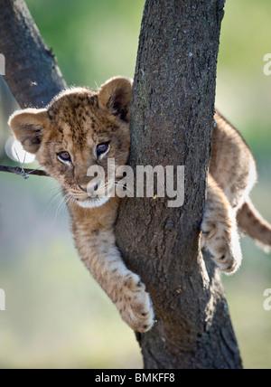 Lion cub about 3 months old, climbing a tree. Near Ndutu, Ngorongoro Conservation Area / Serengeti National Park, - Stock Photo