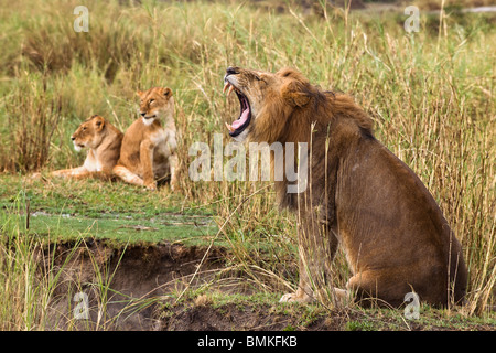 Adult lion yawning and two lionesses in the background, Serengeti National Park, Serengeti, Tanzania, Africa - Stock Photo
