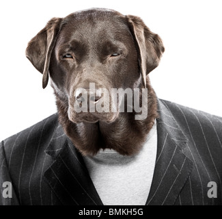 Shot of a Chocolate Labrador in Pin Stripe Suit with Squinted Eyes - Angry Dog - Stock Photo
