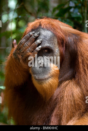Young male Orangutan, Gunung Leuser National Park, Sumatra, Indonesia. - Stock Photo