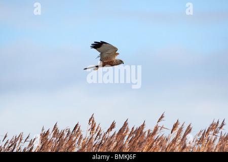 Marsh Harrier Circus aeruginosus female in flight over reed-bed - Stock Photo